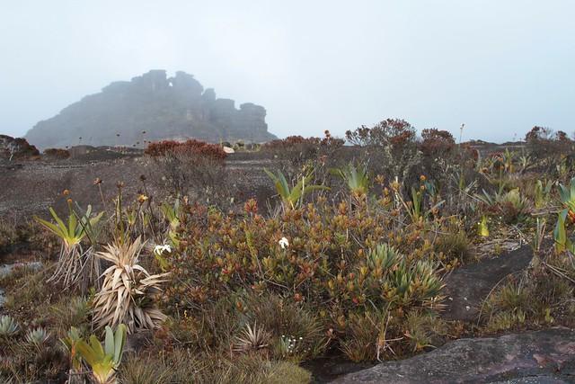 Vegetation on Mount Roraima