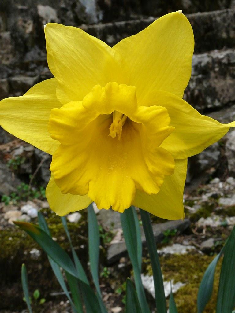 Daf! L'emblème du Pays de Galles (Wales emblem)   Dare I ...