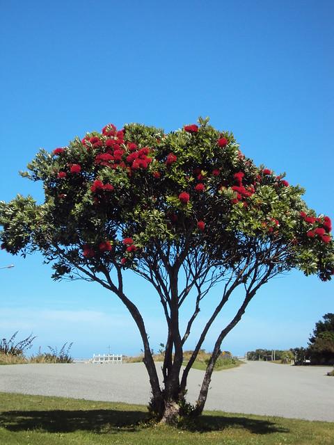 Pohutukawa tree in bloom