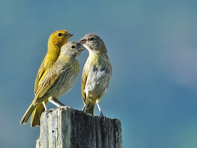 Canário-da-terra-verdadeiro ( Sicalis flaveola )  - Saffron-Finch - DSC_0093_01