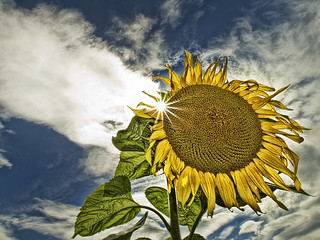 Sad Sunflower | by Ian@NZFlickr