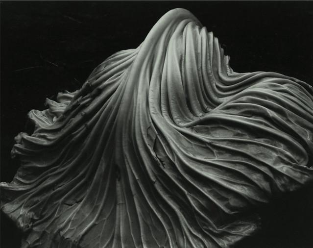 [ W ] Edward Weston - Cababge Leaf (1931)