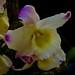 Flori's Orchids