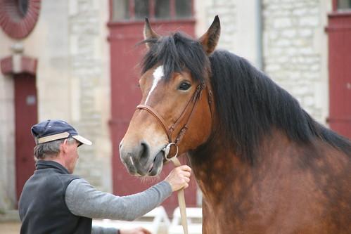 horses horse favoriten cheval favorites 500views 500 each equine chevaux drafthorse ceffylau trait yourfavorite champagneardenne favorieten eich heavyhorse capall trekpaard chevaldetrait equinephotography over500views ffefrynnau ardennais zugpferd capaill kezeg equinephotographer montierender harasnational traitardennais harasnationaldemontier