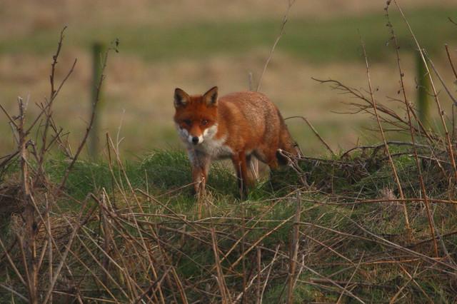 Fox, RSPB Saltholme