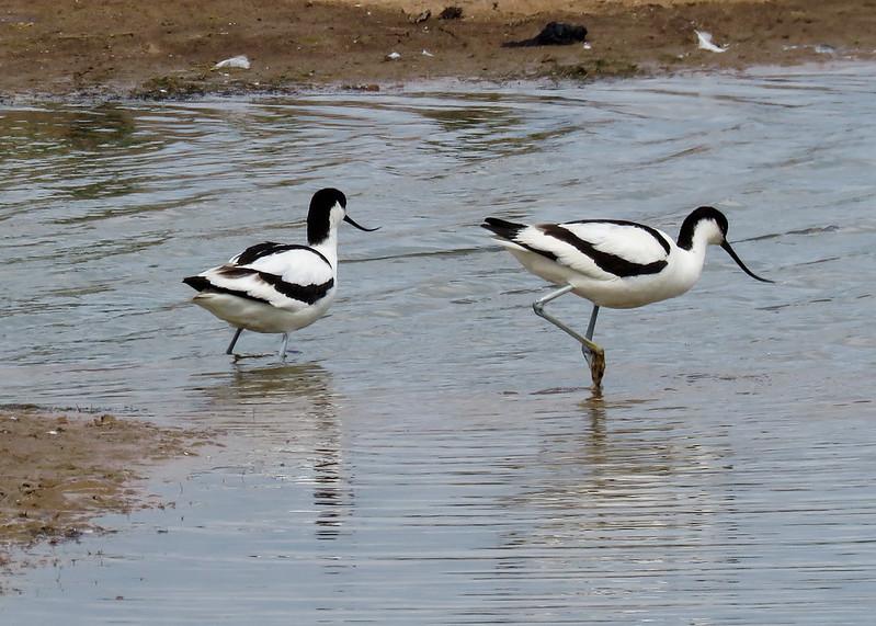 Avocet - Recurvirostra avosetta