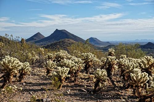 arizona scottsdale mcdowellsonoranpreserve sunrisetrail sonorandesert chollacactus cholla cactus christmas2016 hooked spiny barbed ouch