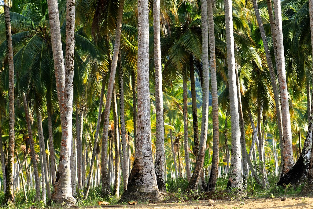 photo of coconut palms
