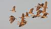 plumed whistling-duck (Dendrocygna eytoni) by crijnfotin