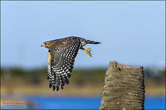 buteo lineatus, red-shouldered hawk