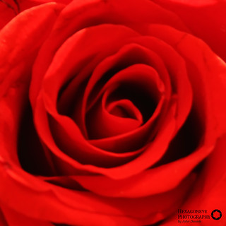 44/365 Red Rose | by Hexagoneye Photography