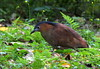 黑冠麻鷺雄鳥Malayan Night Heron,taken at Taipei Botanical Garden,Taiwan. by 賞景者 Jeff Lin