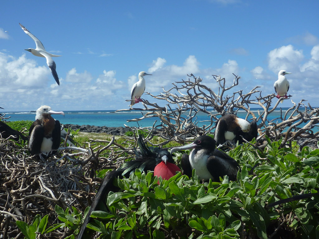 Great frigatebirds and red-footed boobies at Tern Island