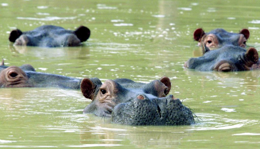 艾斯科巴動物園中遺留下來的河馬後代。