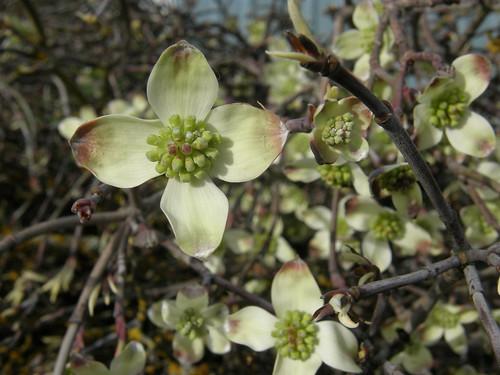 flowering dogwoood | by Oregon Coastal Flowers