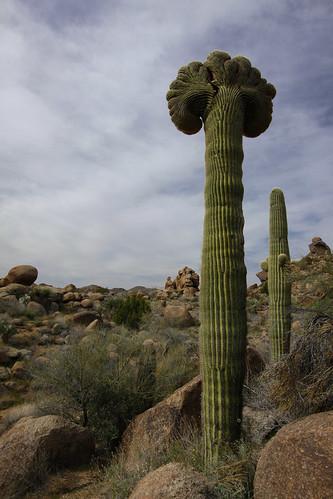 arizona cactus southwest landscape desert saguaro crested bryandoty