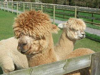 Dwyfor Ranch Alpacas | by jennicatpink