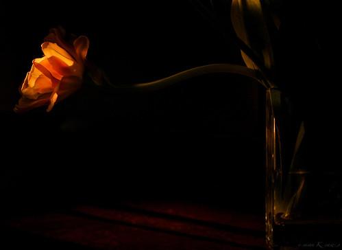 sunset flower macro tuilp