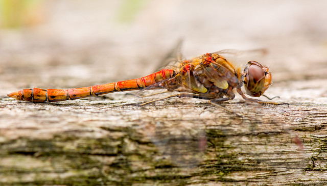 Common Darter on a Bench