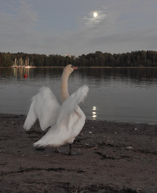 A swan song #151