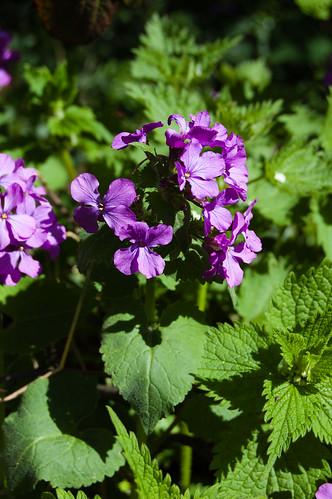 Honesty flowering