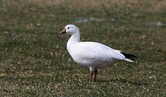 Ross's Goose, Shelter Cove Park, Tom's River, NJ