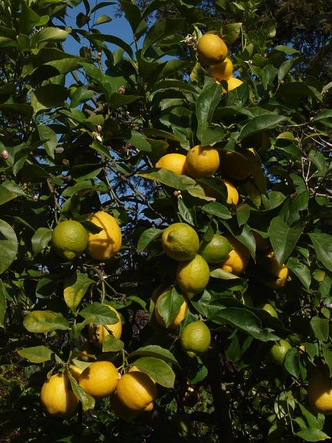 K4147031 Eureka lemons
