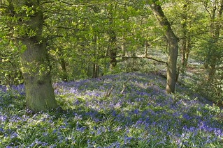 Bluebells - South Cheshire | by theoldsmithy