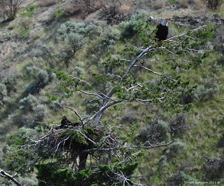 Bald Eagle Family | by Photography Through Tania's Eyes