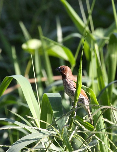 Scaley-breasted Munia | by blueeyes_inoki