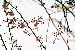 桜が咲いたら花見て笑顔になろうよ! by Noël Café