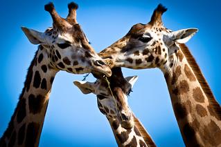 Giraffes (18K views, thank you!) | by MrLeeAiS