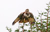 Forest Buzzard (Buteo oreophilus) Juv by Ian N. White