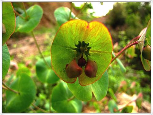 plant nature türkiye wildplant mersinflora