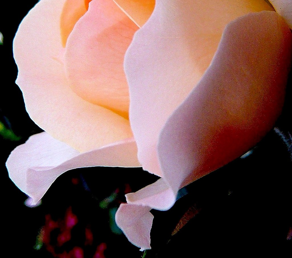 Stein Rose: ROSE IS A ROSE IS A ROSE (Gertrude Stein)