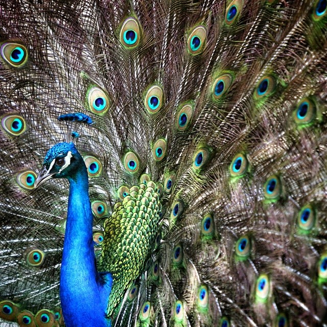 Mother nature at her finest #peacock #sctweets #magnoliapl ...
