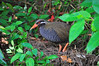 Okinawa rail, (Gallirallus okinawae)  Yanbaru Kuina (ヤンバルクイナ) by Okinawa Nature Photography