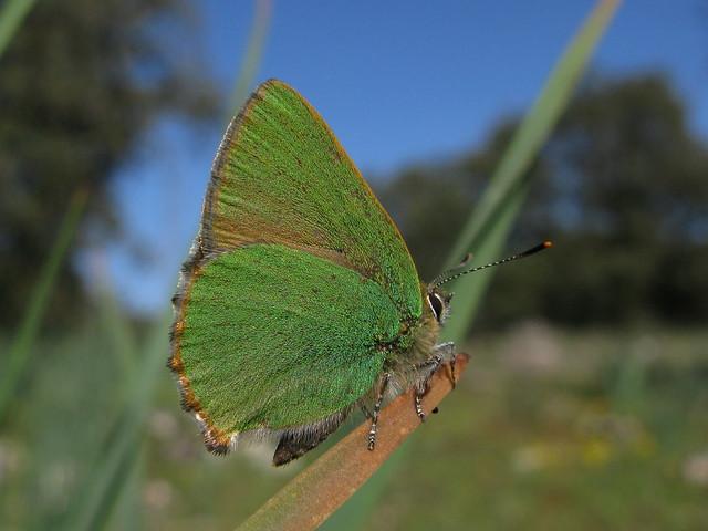 Mariposa verde * Cejialba