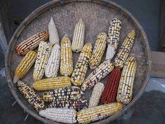 Wed, 27/04/2011 - 02:46 - Diversified varieties of maize