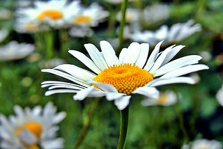 Daisies | by SurFeRGiRL30