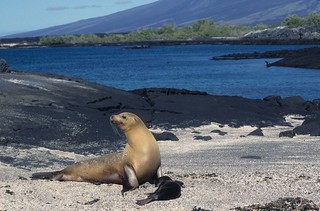 Galápagos sea lion: mother with pup - scene shot | by Derek Keats