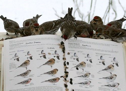 Redpolls on  pg. 532-33, The Sibley Guide to Birds. | by Scott A. Young