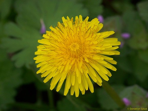 Dandelion | by Dandelion Salad