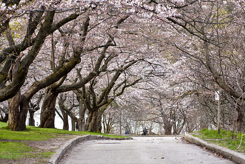 Cherry Blossoms At High Park 2011 | by alvin.ang