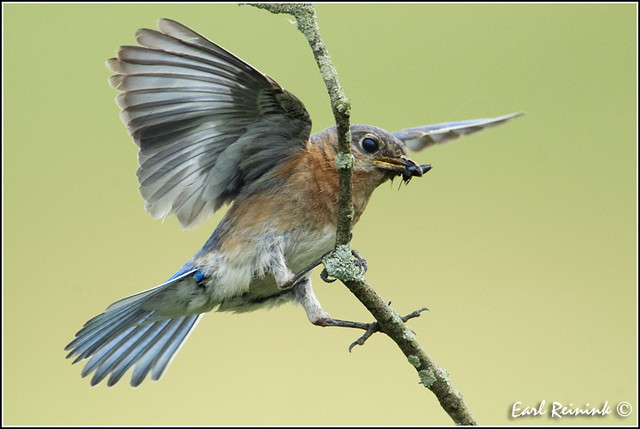 20110626-2663 Eastern Bluebird
