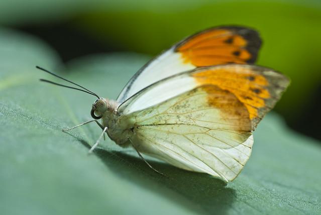 Butterfly -  Hebomoia glaucippe ♂