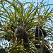 Banksia elderiana - Photo (c) chuck b., some rights reserved (CC BY)