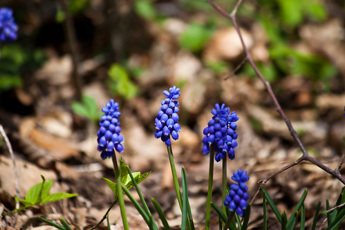Grape Hyacinths | by Scarygami