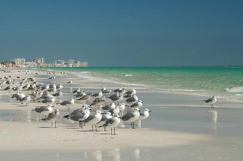 beach florida seagull destin