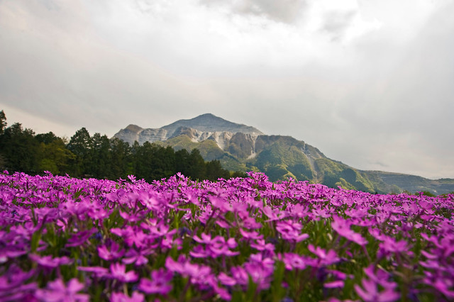 Spring Phlox Under Mt Buko